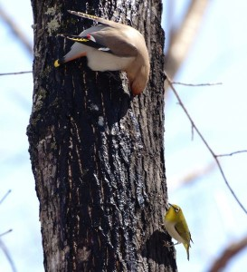 イタヤカエデの樹液を舐めるキレンジャクとメジロ