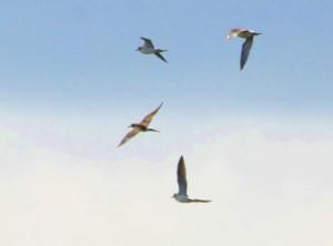 タカブシギ群翔