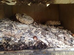 フクロウ用の巣箱の中