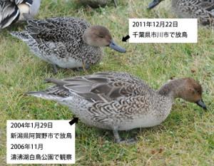 オナガガモ標識鳥