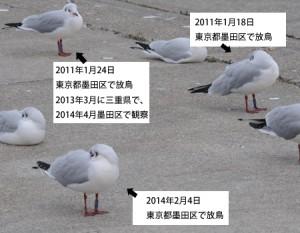 ユリカモメ標識鳥