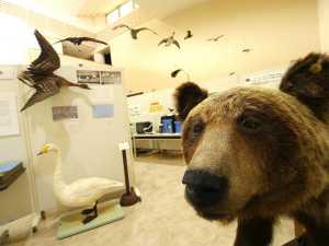 ヒグマの剥製と知床の展示コーナー(画像は知床博物館ご提供)