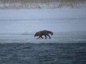 対岸の氷の上を歩いていたキタキツネ