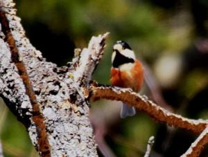 ヤマガラ Poecile varius