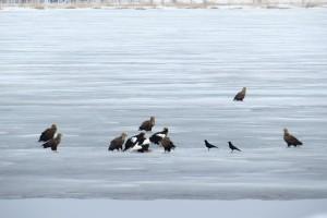 氷上に群れるオジロワシとオオワシ