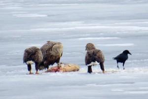 巨大なコイの死骸を氷の下から引き上げて食すオジロワシ
