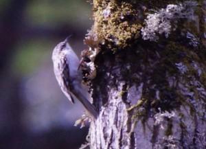 キバシリ Certhia familiaris