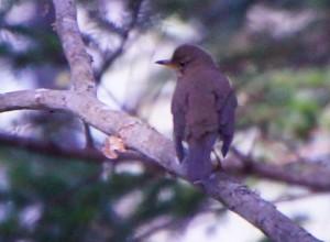 アカハラ Turdus chrysolaus