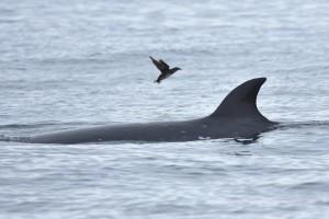 ミンククジラとウトウ Balaenoptera acutorostrata & Cerorhinca monocerata