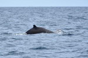 ツチクジラ Berardius bairdii