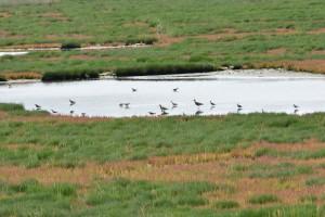 シギ類 Shore Birds