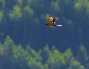 ハイタカ Accipiter nisus