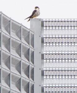 チゴハヤブサ Falco subbuteo