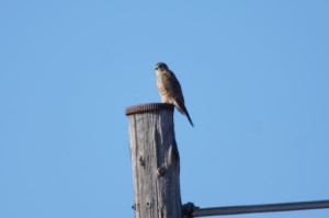 コチョウゲンボウ Falco columbarius