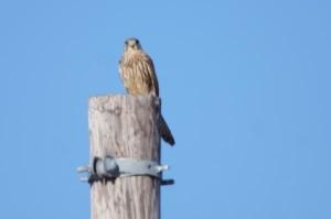 チョウゲンボウ Falco tinnunculus
