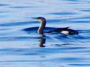 オオハム Gavia arctica
