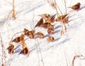 ハギマシコ Leucosticte arctoa