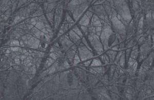 アオサギ A. cinerea