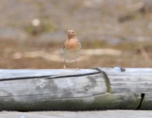 ムネアカタヒバリ A. cervinus