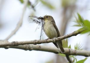 キビタキ(♀) F. narcissina(female)