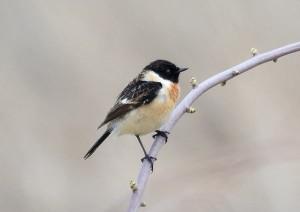 ノビタキ(♂) S. torquatus(male)
