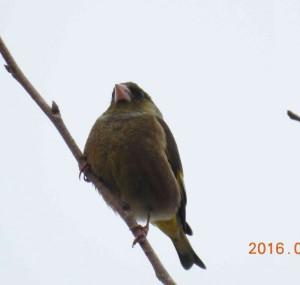 カワラヒワ Chloris sinica