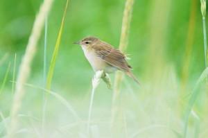 シマセンニュウ(幼鳥) Locustella ochotensis(juv)