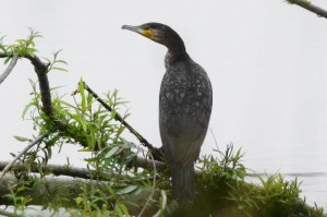 カワウ Phalacrocorax carbo