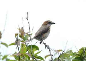 モズ(♀) L. bucephalus(female)