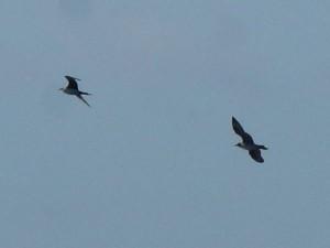 クロトウゾクカモメ(左)と、トウゾクカモメ(右) S. parasiticus(left),S. pomarinus(right)
