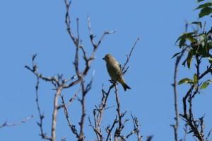 カワラヒワ幼鳥 Chloris sinica(juv)
