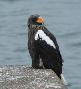 オオワシ Haliaeetus pelagicus