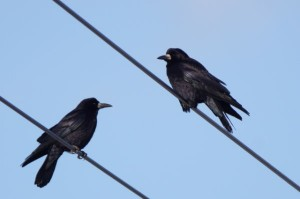 ミヤマガラス Corvus frugilegus