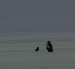 オオワシ Haliaeetus pelagicus ハシボソガラス Corvus corone