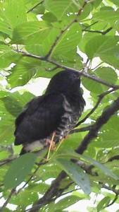 ツツドリ幼鳥 Cuculus optatus (juv)