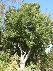 昭和5年に植えられたという「ブナ」 Fagus crenata Blume