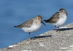 ハマシギ Calidris alpina