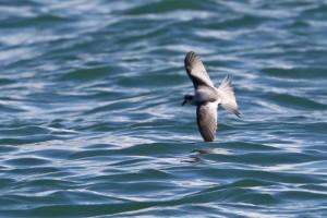 ハイイロウミツバメ Oceanodroma furcata