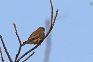 チョウゲンボウ Falco tinnunculus (以下、同一)