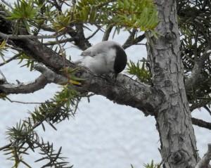 ハシブトガラ Poecile palustris