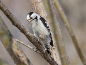 コアカゲラ Dendrocopos minor