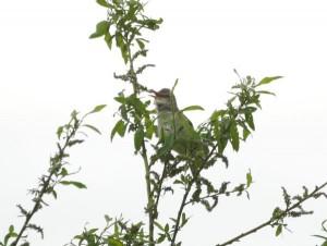 オオヨシキリ Acrocephalus orientalis