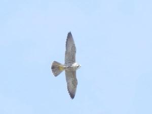ハヤブサ Falco peregrinus