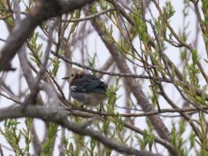 コムクドリ(オス) Agropsar philippensis (male)