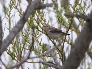 コムクドリ(メス) Agropsar philippensis (female)