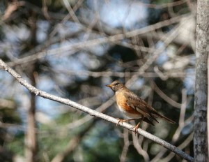 アカハラ Turdus chrysolaus