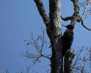 クマゲラ Dryocopus martius