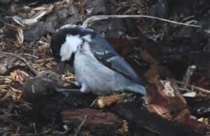 ヒガラ Periparus ater