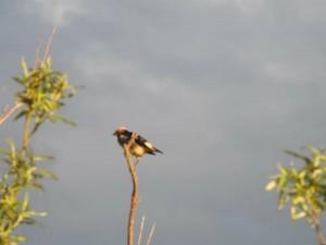 コムクドリ Agropsar philippensis