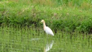アマサギ Bubulcus ibis
